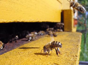 Пчела у летка