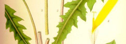 Одуванчик лекарственный, обыкновенный - Taraxacum officinale L.