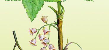 Смородина черная, смородина красная(кислица) - Ribes