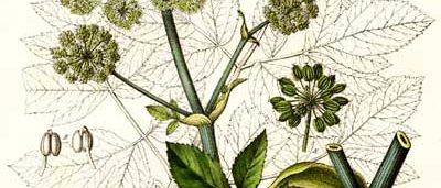 Дягиль нисбегающий, сибирский - Archangelica decurrens Ldb.