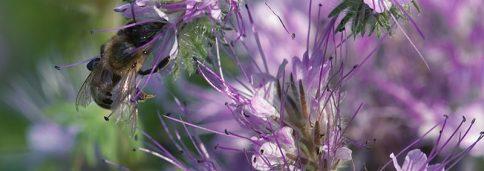 Фацелия рябиноколистая - Phacelia tanaceti folia Benth