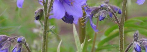 Синюха лазуревая, голубая, синюшник обыкновенный -Polemonium coeruleum L.