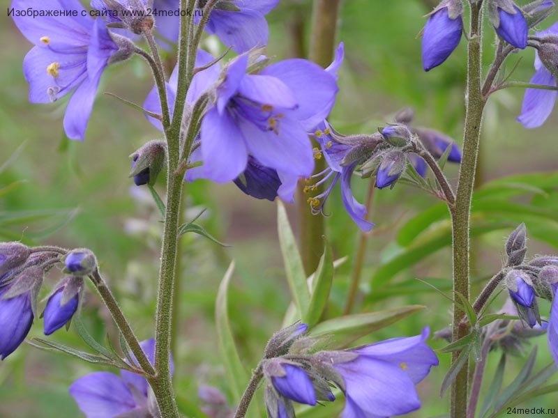Синюха лазуревая, голубая, синюшник обыкновенный - Polemonium coeruleum L.