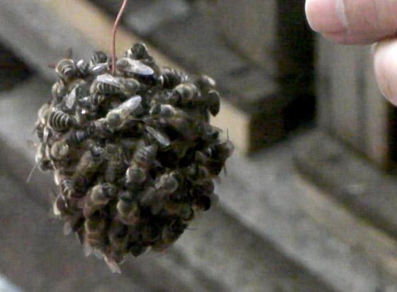 Японские пчелы поджаривают шершней