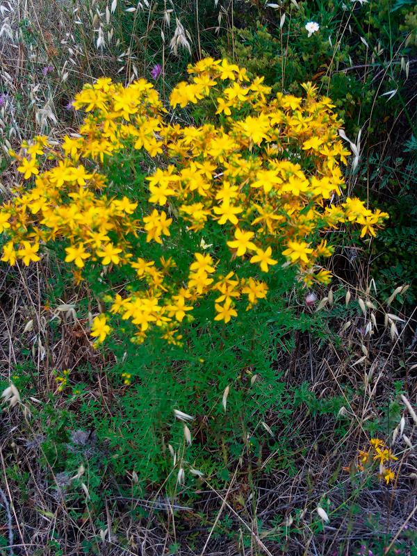 Зверобой обыкновенный, продырявленный, пыльценос. Hypericum perforatum L. Пыльца