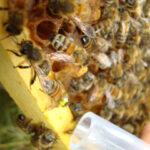 Здоровье пчелиной семьи зависит от трутней