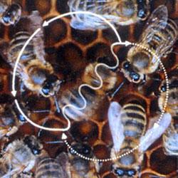 Пчелиный танец (Видео)