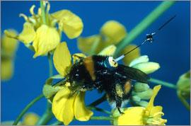 Пчелы выбирают наиболее эффективный путь при сборе нектара