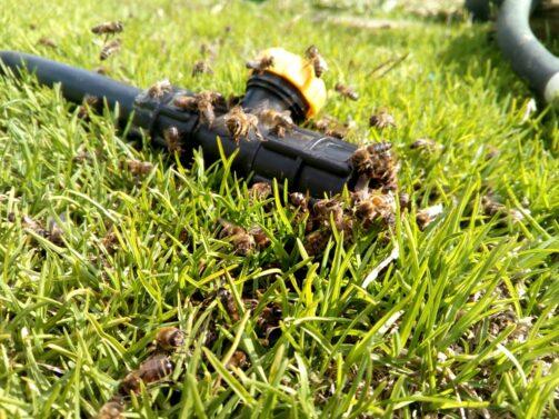 Пчёлы на водопроводном кране