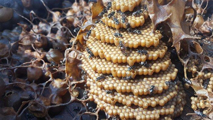 Расплод безжальных пчёл