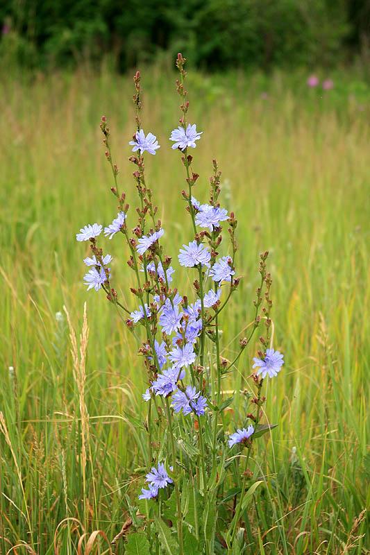 Цикорий обыкновенный — Cichorium intybus L.