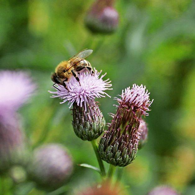 Отравленный сахарный сироп лучше обычного привлекает пчёл