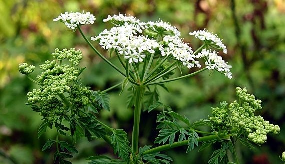 Болиголов крапчатый - Conium maculatum.