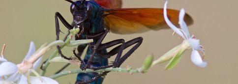 Тарантуловый ястреб (лат. Pepsis formosa) — тропическая оса