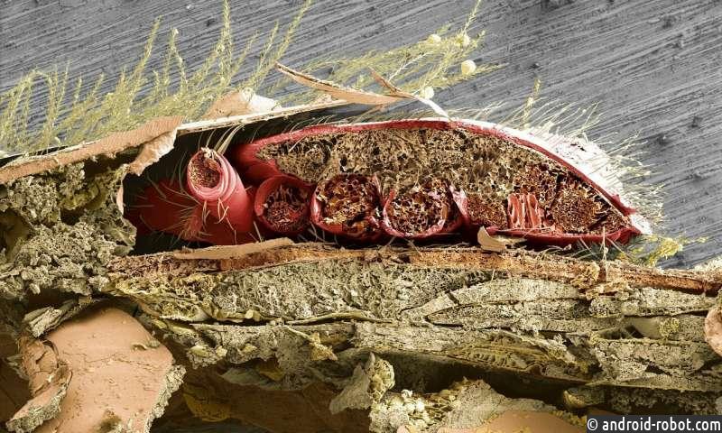 Сенсация! Клещ Варроа питается жировым телом, а не гемолимфой.