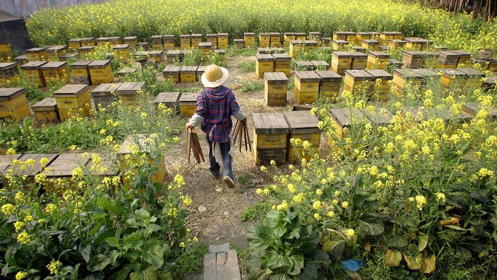 Пчелы Apis cerana в Китае. Проблемы пчеловодства