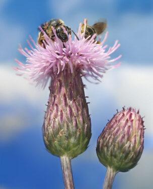 Розовый осот - Cirsium setosum M. Bieb