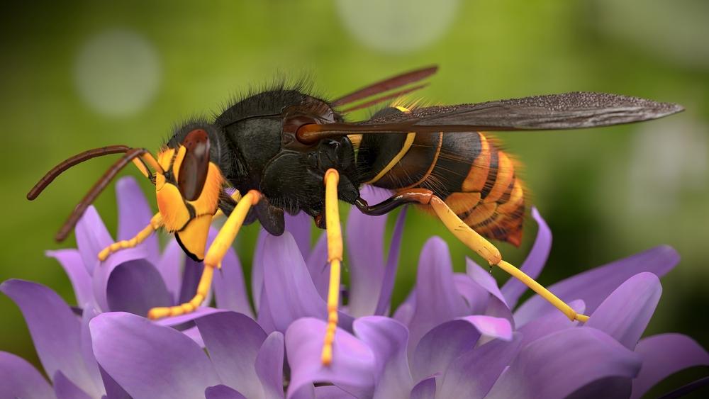 Азиатский шершень-убийца пчел наступает на Великобританию
