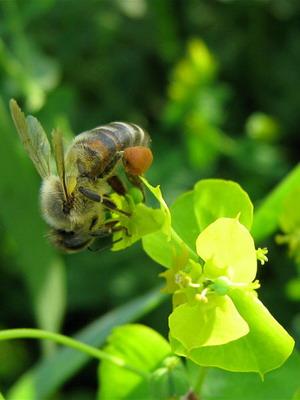 Ученых заинтересовало вещество которым пчелы склеивают цветочную пыльцу