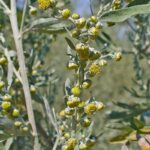 Полынь горькая -Artemisia absinthium