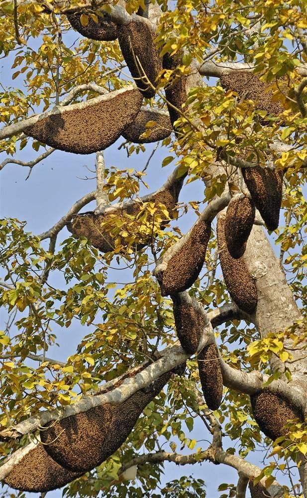 Колонии медоносных пчел в деревне Бахатпур в округе Камруп, штат Ассам, северо-восточная Индия. На этом дереве около 100 колоний медоносных пчел, и местные жители очень тщательно следят за ними и охраняют их. (EPA)
