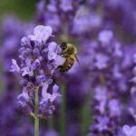 Пчела на лаванде