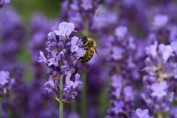О гибридах пчёл. Почему не следует покупать Бакфаст, Карнику и т.п.