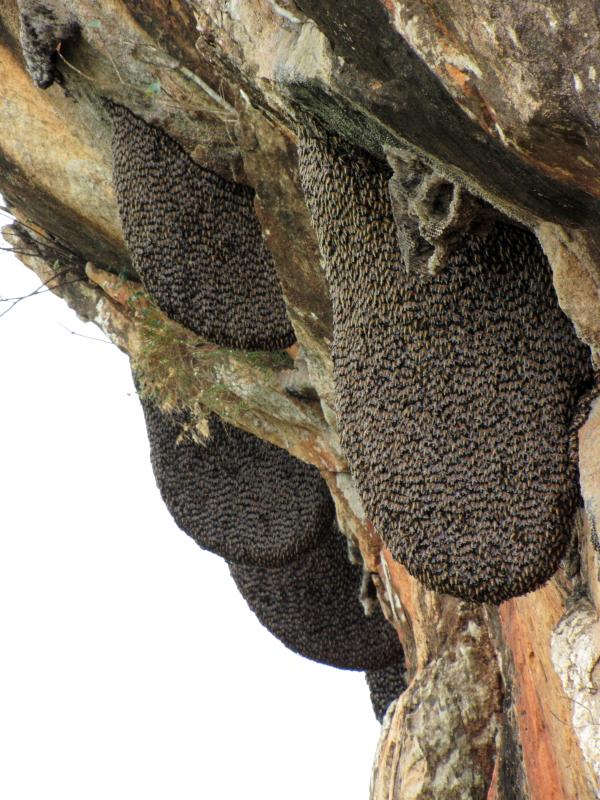 Гнездо азиатских пчел A. Dorsata