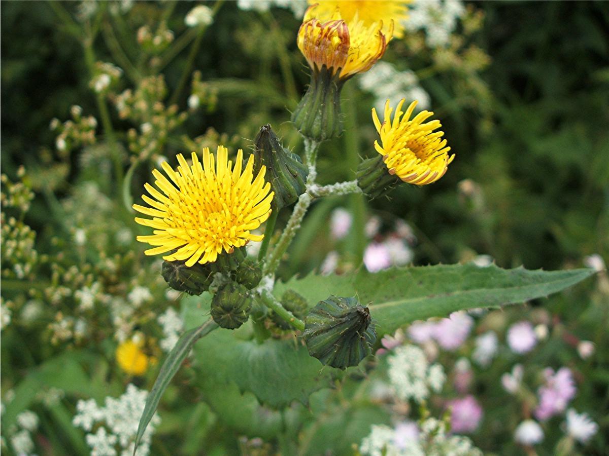 Осот полевой - Sonchus arvensis L.