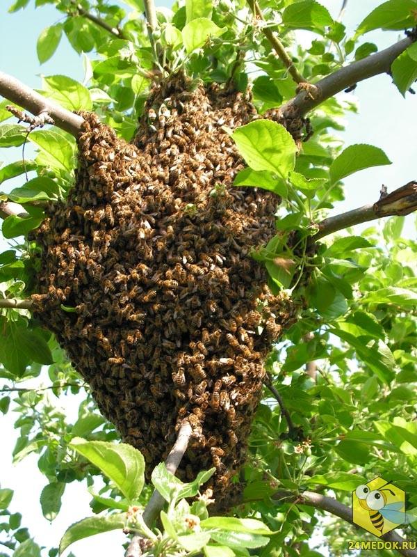 Ройливость среднерусских пчёл