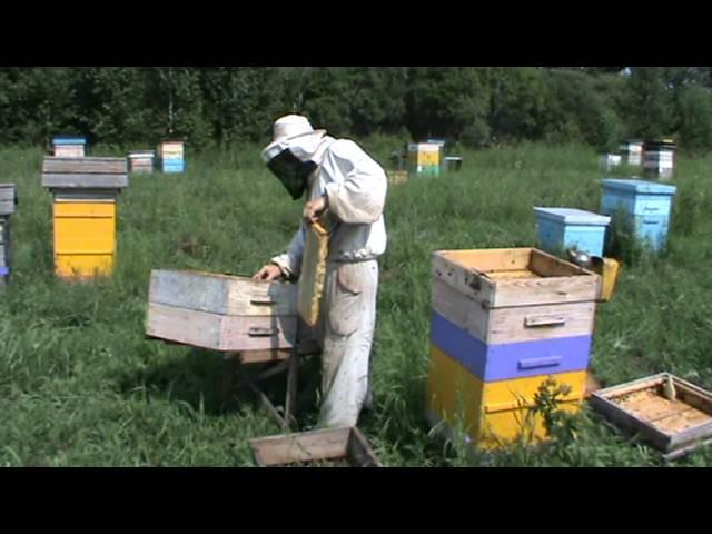 Сбор мёда на пасеке Старчевских (Видео)