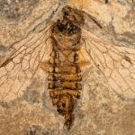 Ископаемая ксиелида – эти самые древние перепончатокрылые почти не изменились за 240 млн. лет