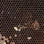 Старая сота имеет цвет от коричневого до черного. И плохо просвечивается.