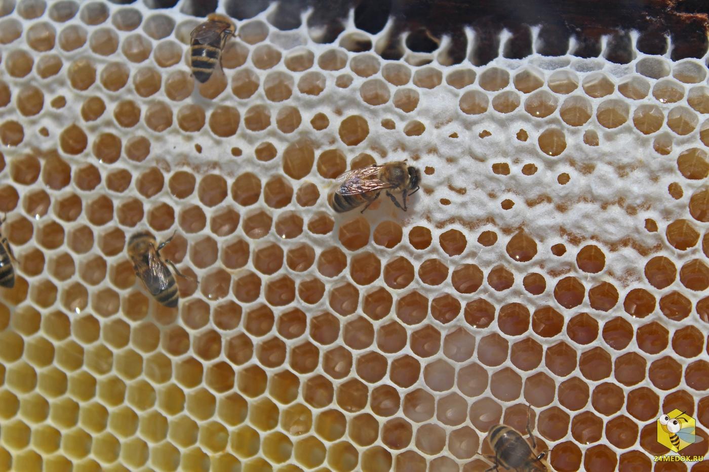 Как пчёлы делают соты? Мои домашние питомцы
