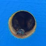 Пчела с обножкой синего цвета (с герани или с иван-чая)