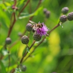 Пчела на бодяке полевом
