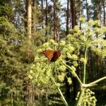 Бабочка на дягиле