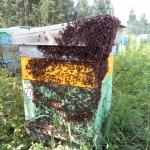 Роевая пчела