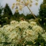 Пчела на русянке с обножкой собранной на лабазнике 2