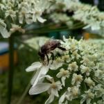 Сибирская пчела на пучке