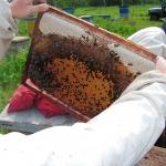 Над расплодом свежий мёд