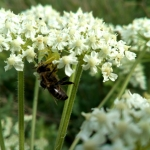 Паук убил пчелу на цветке Борщевика