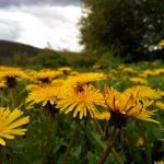 Пчелы на одуванчиках