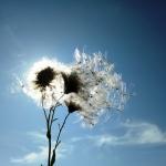 Семена серпухи