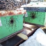 Погибшие от падевого мёда