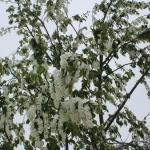 Цветущая черемуха в снегу. 18 мая