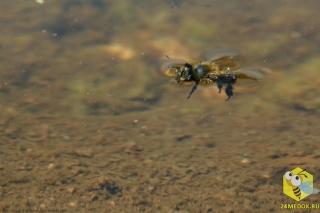 Пчела делает фатальную ошибку, когда садится на поверхность воды.