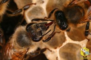 Две пчелы передают рот в рот пищу, такая передача у насекомых называется trophallaxis. Пчелы не только передают продукты питания, но также множество химических веществ, гормонов, которые помогают общаться колонии.