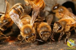 Усики играют важную роль, в общении между пчелами. На усиках находятся органы обоняния, они позволяют пчелам различать пчел, которые живут с ними в одном улье. У каждой пчелиной семьи свой запах. Усиками пчелы так же различают вкусы, улавливают звуки, чувствуют вибрацию, определяют температуру.