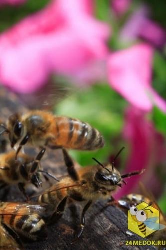 Пчела-сторож охраняет свой улей. Стоя на задних лапах, она контролирует пчел, которые летят в улей, чтобы убедиться, что пчела принадлежит к их колонии. Такая позиция пчелы выражает потенциальную опасность. Сильное обоняние у пчел позволяет им идентифицировать друг друга.